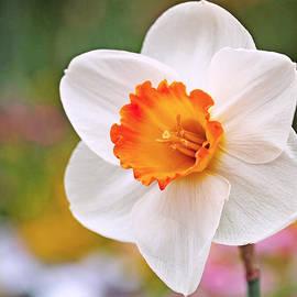 Rona Black - Daffodil