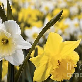 Elena Elisseeva - Daffodils flowering