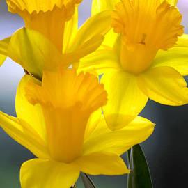 Deb Halloran - Daffodils Spring Forth