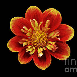 Frank Larkin - Dahlia - Red and yellow