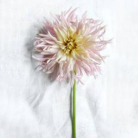 Louise Kumpf - Dahlia #2