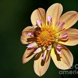 Chris Anderson - Dahlia Bee 3