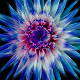 Paul Chessell - Dahlia-Blue