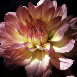 Julie Palencia - Dahlia Burst of Pink and Yellow