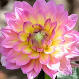Carol Groenen - Dahlia Speak to Me in Pink