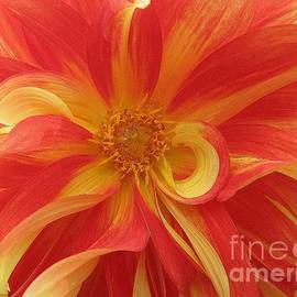 Photographic Art and Design by Dora Sofia Caputo - Dahlia unfurling in Yellow and Red