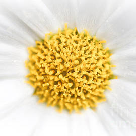 Christina Rahm - Daisy abstract background
