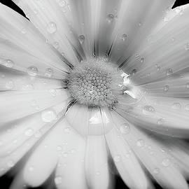 Jennie Marie Schell - Daisy Flower Raindrops Monochrome