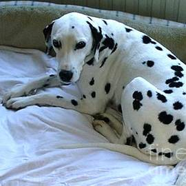 Anthony Morretta - Dalmatian at Rest