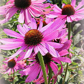 Photographic Art and Design by Dora Sofia Caputo - Dancing in the Wind - Coneflowers