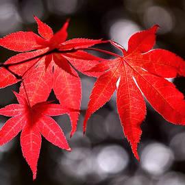 Rona Black - Dancing Japanese Maple