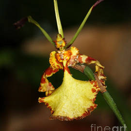 Denise Woldring - Dancing Lady Orchid