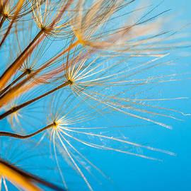 Meir  Jacob - Dandelion Against Blue Skies