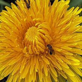 Leif Sohlman - Dandelion and fly  by Leif Sohlman