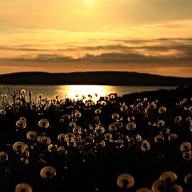 Anne Macdonald - Dandelion Clocks In The Sunset