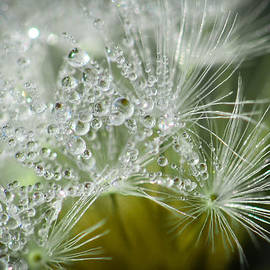 Amy Porter - Dandelion Dew