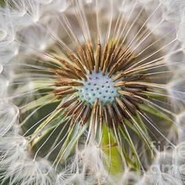 Mitch Shindelbower - Dandelion Dreams