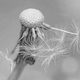 Jennie Marie Schell - Dandelion Flower Macro Monochrome