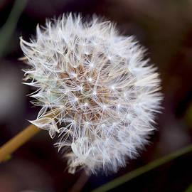 Rumyana Whitcher - Dandellion Puff Ball