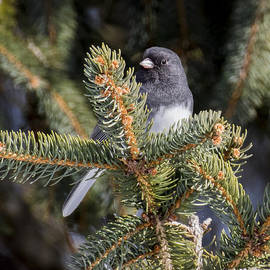 Ricky L Jones - Dark-eyed Junco