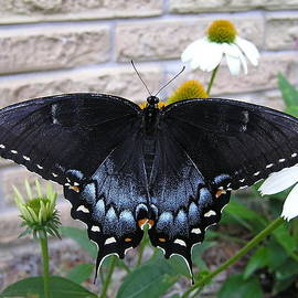 John Thornton - Dark Form Female Tiger Swallowtail