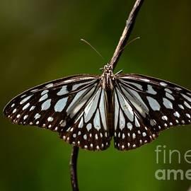 Imran Ahmed - Dark glassy tiger butterfly on branch