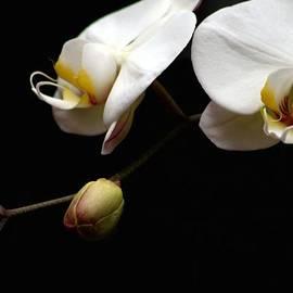 Carol R Montoya - Dark Orchid