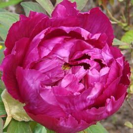 Ed Mosier - Dark Pink Tree Peony