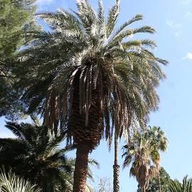 Tom Janca - Date Tree At The Arboretum