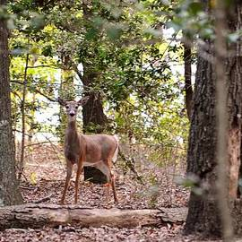 Kim Bemis - Deer at James Farm Ecological Preserve 2 - Delaware