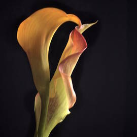 Richard Cummings - December Cala Lily No. 4