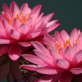 Linda Phelps - Deep Pink Water lily ans Echo