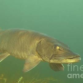 Engbretson Underwater Photography - Deep Water Muskie