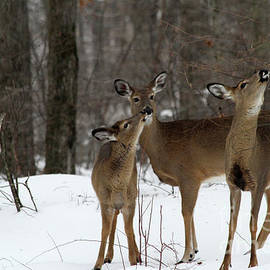 Karol  Livote - Deer Affection