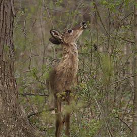 Cameron Williams - Deer in Frorest