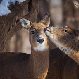Chris Hurst - Deer in Snow