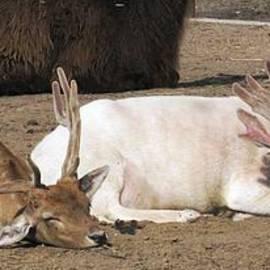 Ausra Huntington nee Paulauskaite - Deer Nap