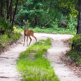 Parker Cunningham - Deer On A Forest Path