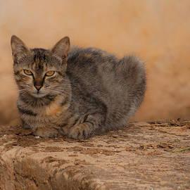 Jawaharlal Layachi - Defiant cat