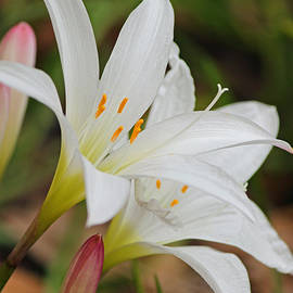 Suzanne Gaff - Delicate and Delightful - Atamasco Lilies