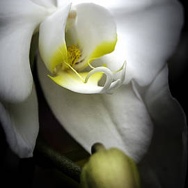 Julie Palencia - Delicate Exotic Orchid