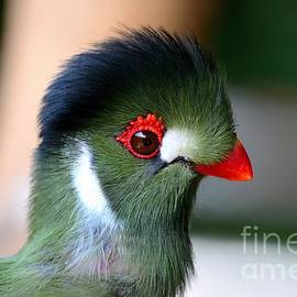 Imran Ahmed - Delicate green turaco bird with red beak white patches and black crown