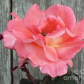 Audrey Van Tassell - Delicate Pink Rose