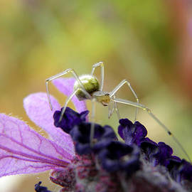 Chris Green - Delicate spider