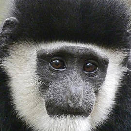 Margaret Saheed - Demure Young Black And White Colobus