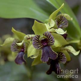 Terri Winkler - Dendrobium 6713