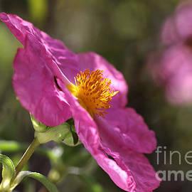 Joy Watson - Desert Rose Hibiscus