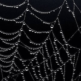 Marty Saccone - Dew Drops on Web 2