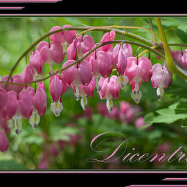 Patti Deters - Dicentra Bleeding Heart