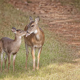 Bonnie Barry - Doe and Fawn